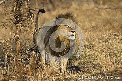 Golden mane lion