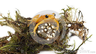Golden Mantella protecting her eggs