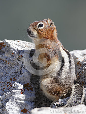 Free Golden-mantled Ground Squirrel - Jasper National Park, Canada Royalty Free Stock Image - 51889656