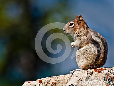 Golden Mantled Ground Squirrel sitting
