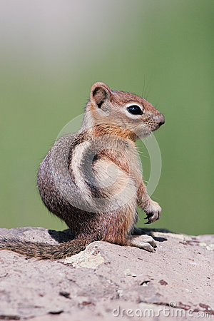 Golden-mantled Ground Squirrel, Spermophilus