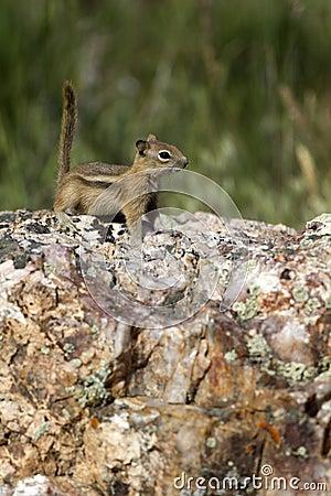 Golden-mantled Ground Squirrel, Spermophilus later
