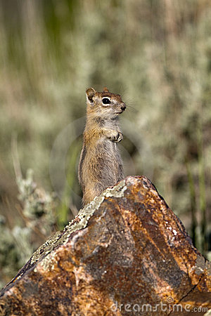 Golden-mantled Ground Squirrel, Spermophilus later