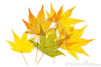 Golden Maple Leaves