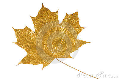 Golden maple tree leaf