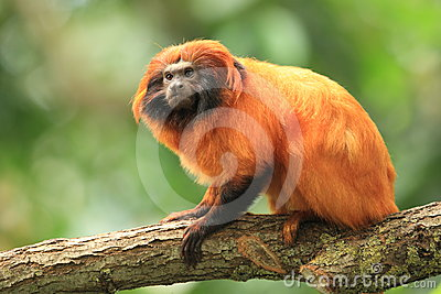 Golden Marmoset Stock Images - Image: 24342494