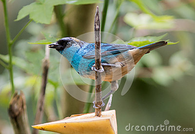 Golden-naped Tanager (Tangara ruficervix)