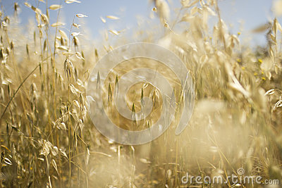 Golden oats