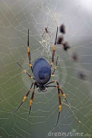 Free Golden Orb Spider Royalty Free Stock Photo - 9733855