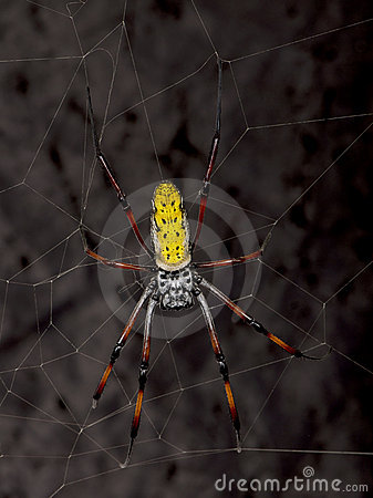 Golden orb-web spider against black background