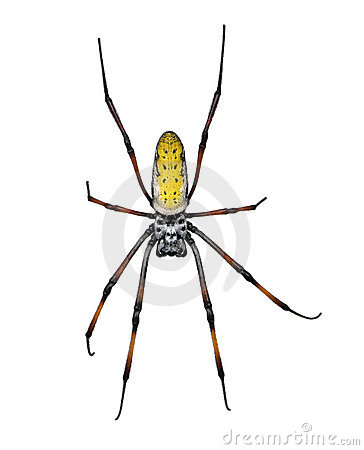 Free Golden Orb-web Spider Against White Background Stock Photo - 10939070