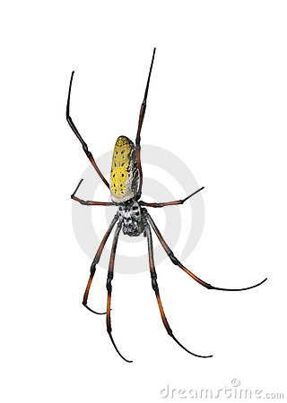 Free Golden Orb-web Spider Against White Background Royalty Free Stock Images - 10939109