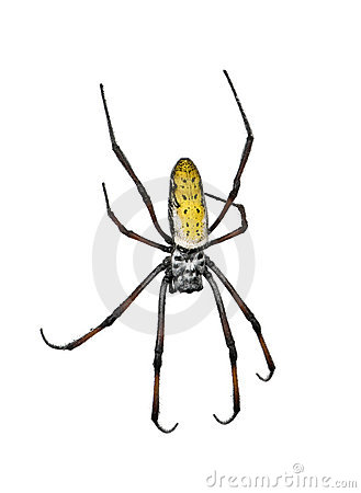 Golden orb-web spider against white background