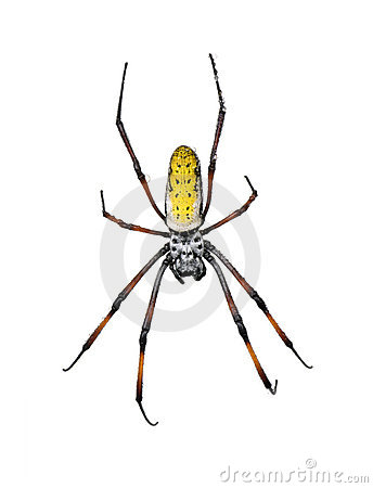 Free Golden Orb-web Spider Against White Background Royalty Free Stock Image - 11290796