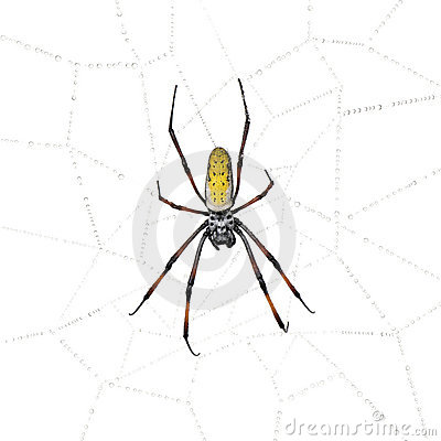 Golden Orb-web spider in spider web