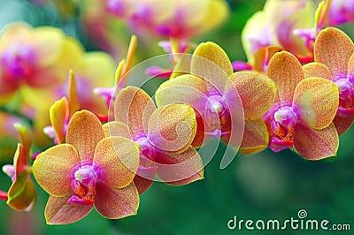 Golden Orchids