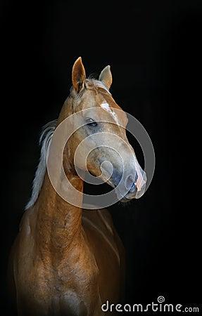 Golden palomino foal