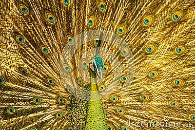 Golden Peacock Stock Photo Image 55210711