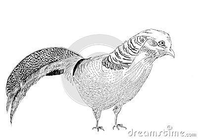Golden pheasant bird sketch illustration