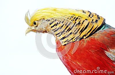 Golden Pheasant-Chrysolophus pictus