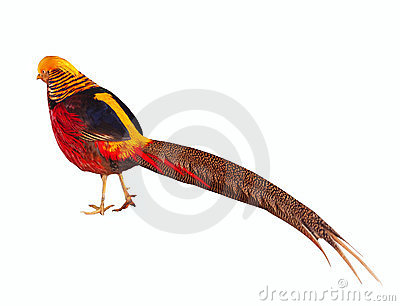 Golden pheasant. Isolated over white