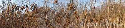 Golden plants blowing in wind very wide panoramic