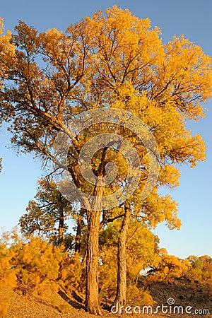 Golden poplar trees