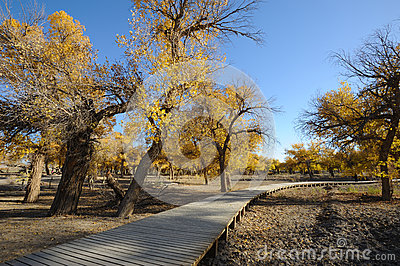 Golden poplar trees with wooden path