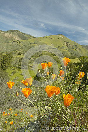 Golden poppies towering above the spring hills