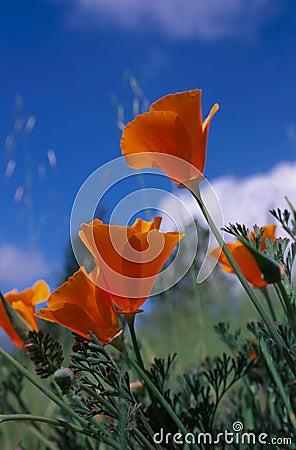 Free Golden Poppy Royalty Free Stock Image - 5810096