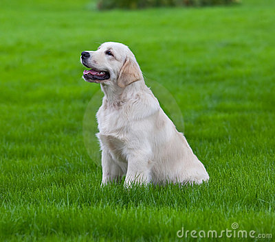 Golden retrieve on the green grass