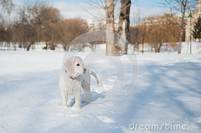 Golden retrieve puppy in winter