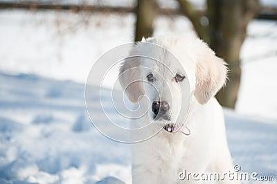 Golden retrieve puppy in winter