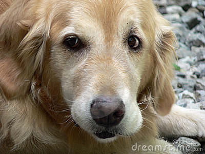 Golden Retriever 1