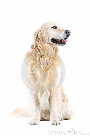 Free Golden Retriever Royalty Free Stock Images - 216819
