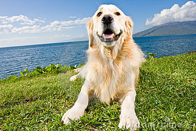 Golden Retriever Royalty Free Stock Photo - Image: 22379265
