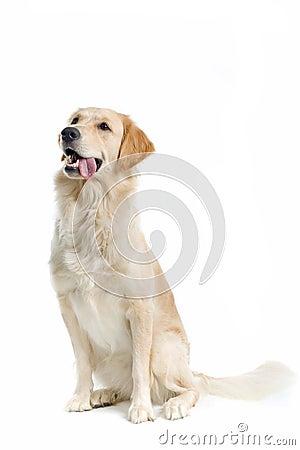 Free Golden Retriever Stock Image - 2865941