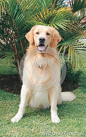 Golden Retriever Royalty Free Stock Photo - Image: 390545