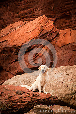 Free Golden Retriever At Red Rocks Stock Photography - 27656312