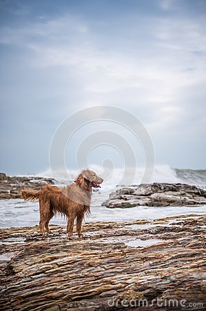 Free Golden Retriever At The Beach Stock Photography - 101932162