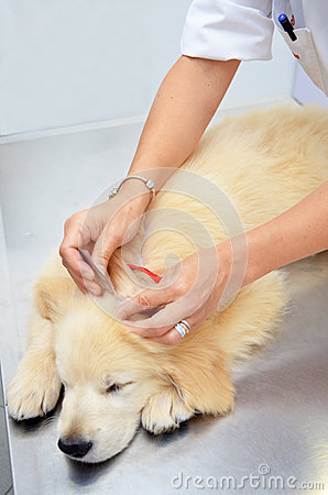 Free Golden Retriever At Vets Royalty Free Stock Image - 37062666