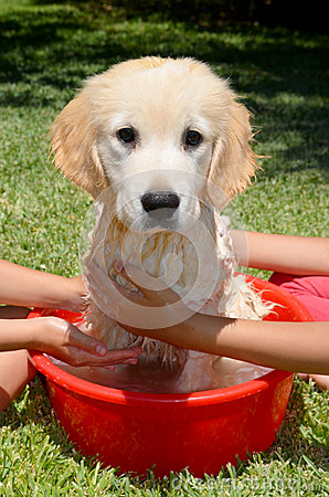 Golden Retriever bath time
