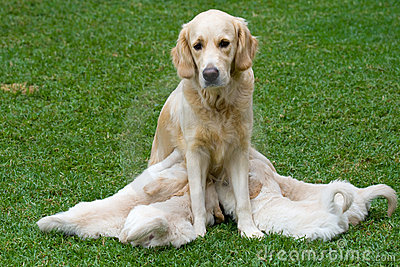Golden Retriever bitch and nursing pups