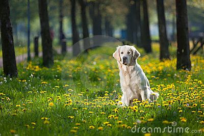 Golden Retriever between dandelions