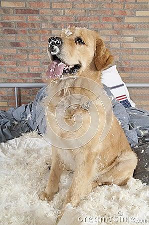 Free Golden Retriever Demolishes A Pillow Stock Photos - 20348013