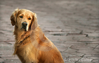 Golden retriever-distant gaze