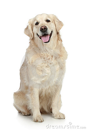 Free Golden Retriever Dog Royalty Free Stock Photo - 16884985