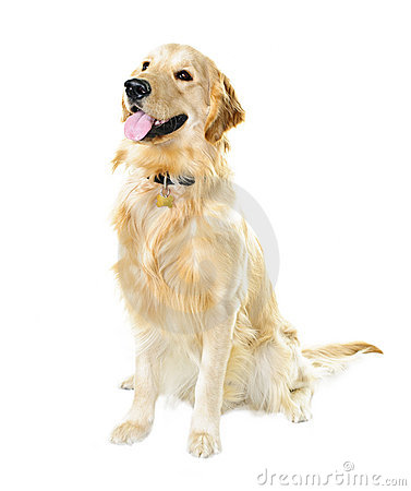 Free Golden Retriever Dog Stock Image - 18481721