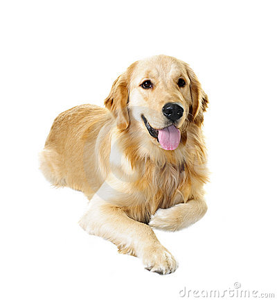 Free Golden Retriever Dog Stock Photo - 18481770