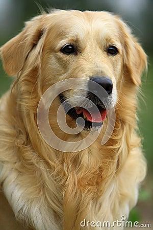 Free Golden Retriever Dog Stock Images - 4718964
